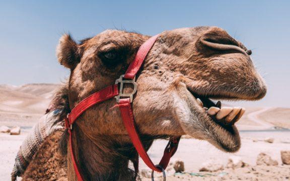 Esqueçam os unicórnios. As startups agora precisam ser camelos